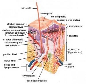 Kaavio ihon rakenteesta. Kuva: https://en.wikipedia.org/wiki/File:HumanSkinDiagram.jpg