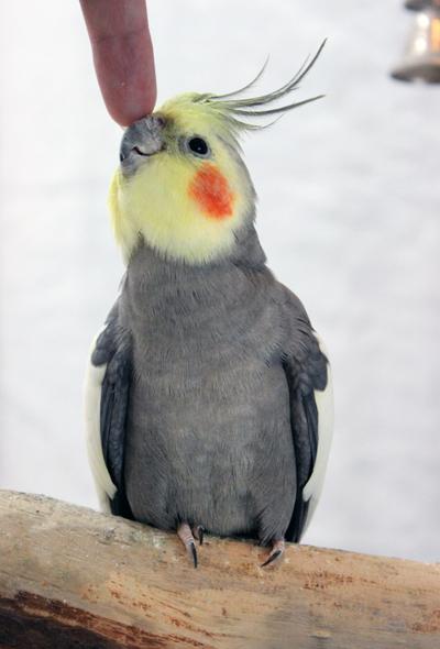 Kuvan käsiruokittu lintu tietää saavansa pian rapsutuksia.Kuva: Ida-Emilia Kaukonen