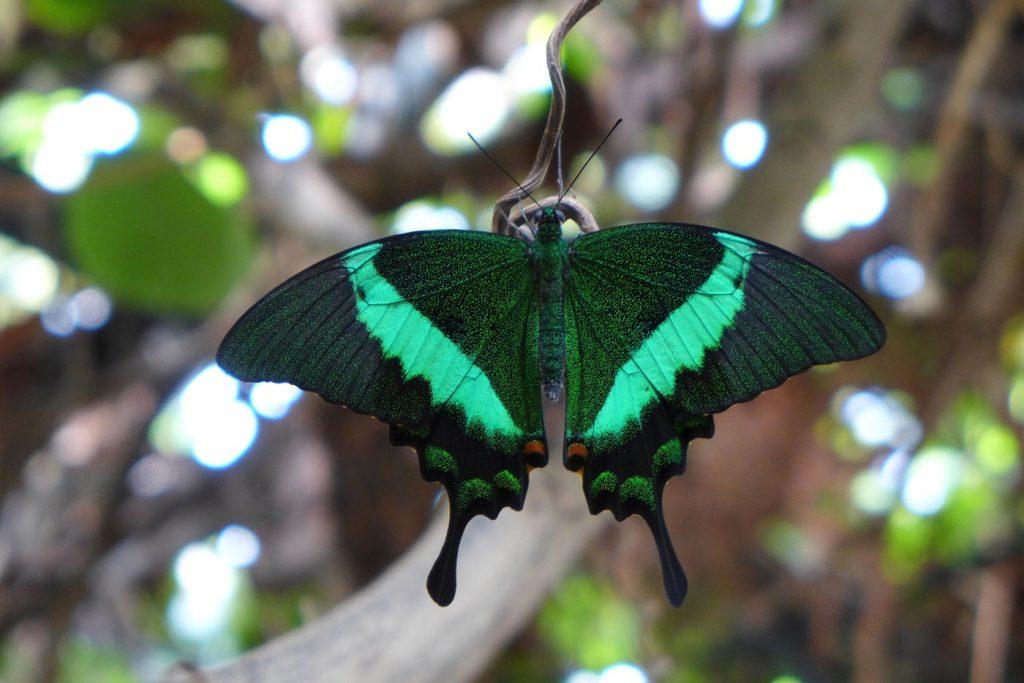 Viherritari-perhonen (Papilio palinurus). Siivet ovat tummanvihreät ja niissä kulkee smaragdinvihreät juovat.