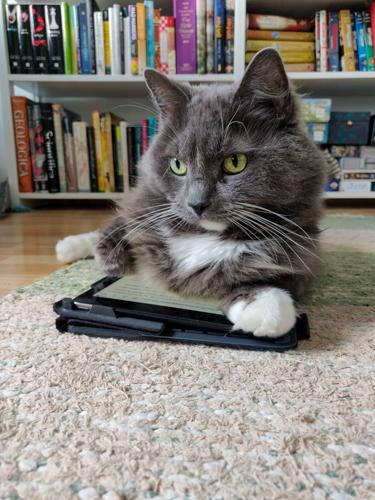 Kissa makaa tabletin päällä.