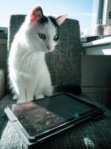 Kissa istuu tuolilla, tabletti edessä.