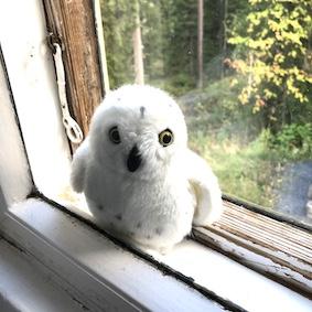 Kuvassa pehmotunturipöllö ikkunalla