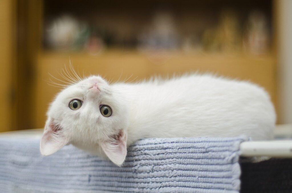 Kissa, joka makaa tasolla ja katsoo suoraan kameraan.