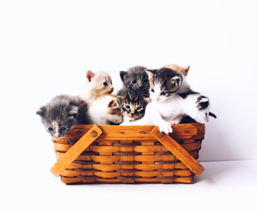 Puinen kori, jossa kissanpentuja.